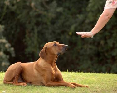 Obediência Básica Canina | 4 Aulas