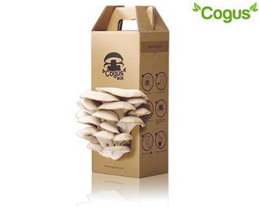 Kit CogusBox |  Cultive os seus Cogumelos em Casa!