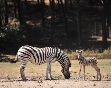 Dia Mágico na Natureza - Badoca Safari Park! Entrada de Adulto