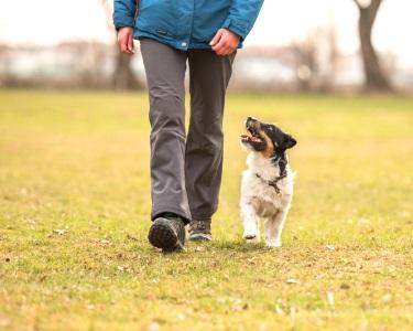 Aulas de Obediência Canina - Ensine o Seu Cão | COMtakto
